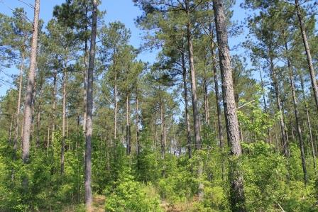 JEF - loblolly pine stand web